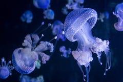 Jellyfish pod wodą Zdjęcia Stock