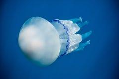 Jellyfish Przez światła słonecznego Zdjęcia Stock