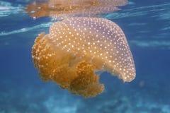 Jellyfish przy Surin wyspą Fotografia Royalty Free