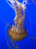 Jellyfish. Real jellyfish on blue background Royalty Free Stock Photography