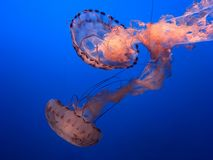 Jellyfish. Real jellyfish on blue background Stock Images