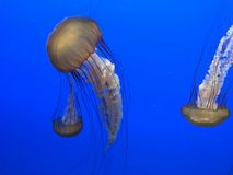 Jellyfish. Real jellyfish on blue background Royalty Free Stock Photo