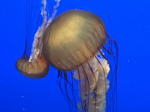 Jellyfish. Real jellyfish on blue background Royalty Free Stock Photos