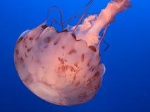 Jellyfish. Real jellyfish on blue background Stock Photo