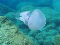 Jellyfish Rhizostoma pulmo Stock Photo