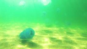 Jellyfish Rhizostoma pulmo pływa w wodzie zbiory