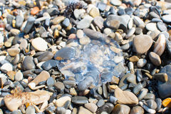 Jellyfish on the rocks Stock Photo