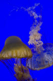 Jellyfish from San Francisco aquarium. Duo Jellyfish from San Francisco aquarium with deep  blue background Royalty Free Stock Images