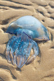 Jellyfish on the sand Stock Photography