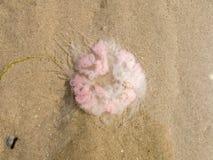 Jellyfish on sand Stock Photos