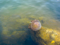 Jellyfish in sea Royalty Free Stock Photo