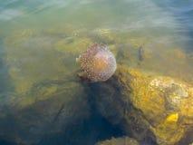 Jellyfish in sea Stock Photos