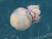 Jellyfish in sea Stock Image