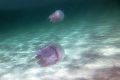 Jellyfish in the sea Stock Images