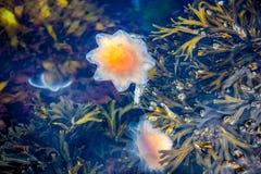 Jellyfish, Seydisfjordur Iceland10 obrazy royalty free