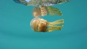 Jellyfish in Shallow Tropical Pacific. A jellyfish (Mastigias papua) swims just under the surface of a lagoon in Raja Ampat, Indonesia. This region is within the stock video