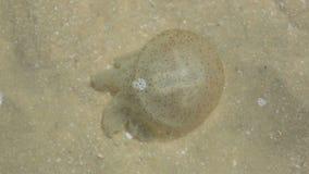 Jellyfish in shallow water. Mui Ne Beach, Vietnam stock video