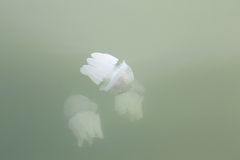 Jellyfish in the shallow waters. Royalty Free Stock Photography