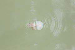Jellyfish in the shallow waters. Jellyfish in the shallow waters of sea Stock Images