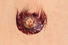 Jellyfish on shore Stock Photography