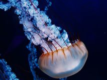 Free-Floating Luminescent Jellyfish at North Carolina Aquarium. Jellyfish are soft-bodied, free-swimming aquatic animals with a gelatinous umbrella-shaped bell Royalty Free Stock Images