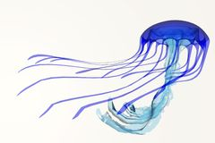 Tropical Blue Jellyfish. A jellyfish is a soft body, free-swimming aquatic animal with poisonous, stinging tentacles to catch its food Stock Photography