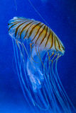 Jellyfish. Some jellyfish with the ocean in background Stock Image