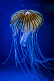 Jellyfish. Some jellyfish with the ocean in background Stock Photos