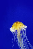 Jellyfish with space for copy. Stock Photography