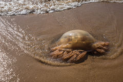 Jellyfish stranded on a beach Royalty Free Stock Image