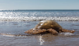 Jellyfish stranded on a beach Stock Photography