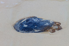 Jellyfish Stranded on the Beach. Royalty Free Stock Photos