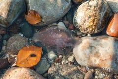 Jellyfish stranded on beaches Stock Photos