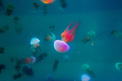 Jellyfish swimming in aquarium Royalty Free Stock Images