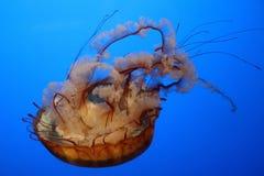 Jellyfish Swimming in an Aquarium. A jellyfish swims upside down in an aquarium Stock Photography