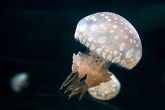 Jellyfish swimming Stock Photos