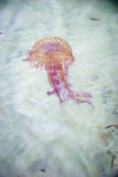 Jellyfish swimming in a sea Royalty Free Stock Photo