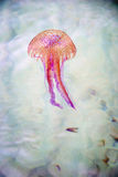 Jellyfish swimming in a sea Royalty Free Stock Image