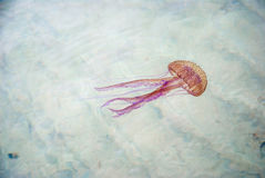 Jellyfish swimming in a sea Royalty Free Stock Photos