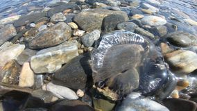Jellyfish swimming in sea water. Mediterranean coast stock footage