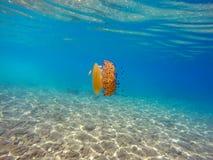 Jellyfish Swimming in the Shallow Water. Colorful jellyfish in the Aegean sea. Cotylorhiza Tuberculata Jellyfish Stock Photo