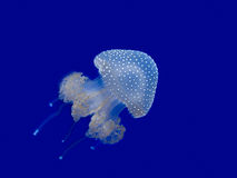 Jellyfish swimming Stock Image