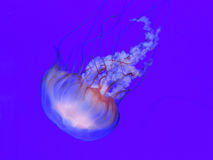 Jellyfish swims against purple background. Translucent jellyfish, sea nettle, in a tank swims against a translucent background Royalty Free Stock Images