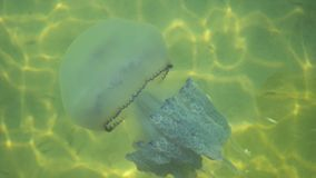 Jellyfish with tentacles. Jellyfish in sea water stock footage