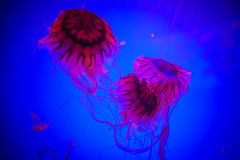 Jellyfish; Royalty Free Stock Photos