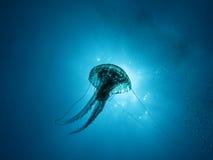 jellyfish u03 Στοκ Εικόνες