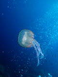Jellyfish (U08) Stock Images