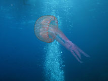 Jellyfish (U09) Stock Photography