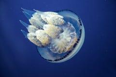 Jellyfish Underwater moving around Royalty Free Stock Image