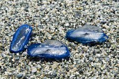 Jellyfish Velella beached on the sand Stock Image